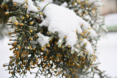 Snow on tree. White snow. Beatiful tree