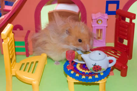 Cute fluffy light brown hamster eats peas at the table in his house. Close-up pet eats with his hands.