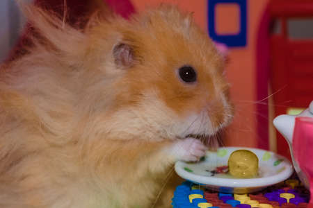 Cute fluffy light brown hamster eats pes at the table in his house. Close-up pet eats with his hands.
