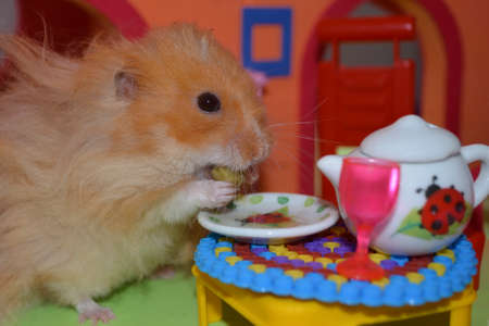Cute fluffy light brown hamster eats one pea at the table in his house. Close-up pet eats with his hands.