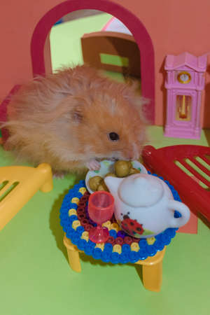 Cute fluffy light brown hamster eats peas at the table in his house. Close-up pet eats with his hands. Top view. Stock Photo