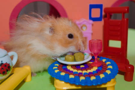 Cute fluffy light brown hamster eats three peas at the table in his house. Close-up pet eats with his hands. Stock Photo