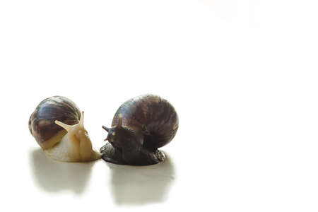 Two isolated brown and white Achatina with a spiral shell crawling on the light table on a sunny day with copy space. Extreme close up macro healing mucus and anti-aging slime of Giant Snail.
