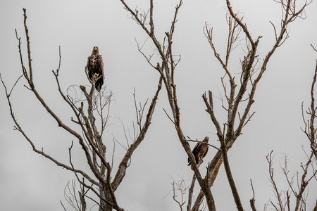 Steppe eagles on the branches of a dried tree. The dreary landscape and back