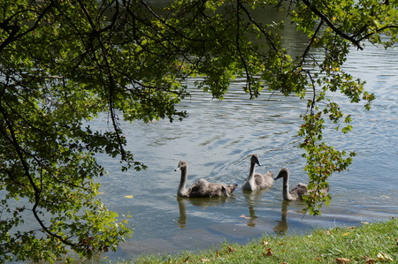 ugly duckling: Swans and cygnets in the lake