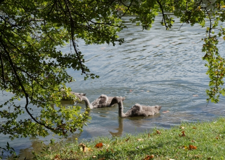 Swans and cygnets in the lake photo
