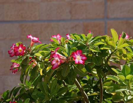 Adenium obesum bloom  photo