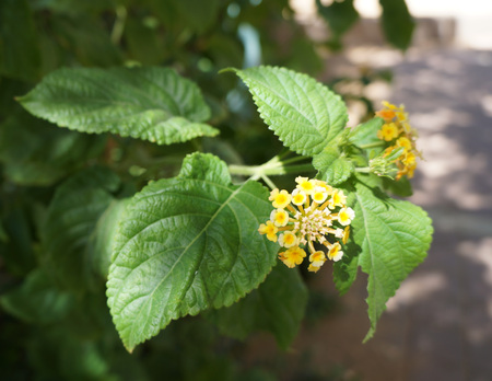 lantana camara: Lantana camara blossom