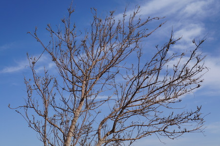 Branches of tree without leaves on the blue sky  photo
