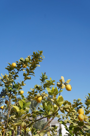 Yellow lemons on the blue sky  photo