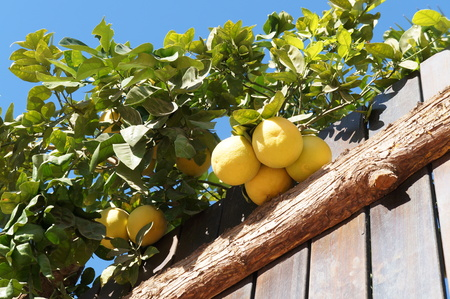 Yellow grapefruits and wooden fence photo