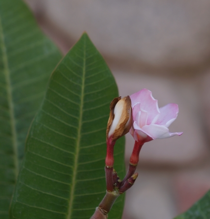 Pink plumeria flower on the stone wall background photo