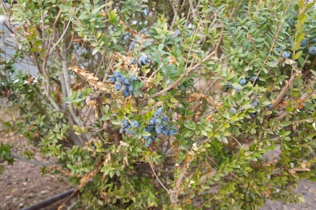 Blue berries on the myrtle plant photo