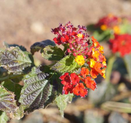 lantana: Lantana Camara blossom