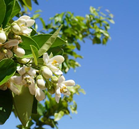 florida citrus: Orange blossom, selective focus on the flower
