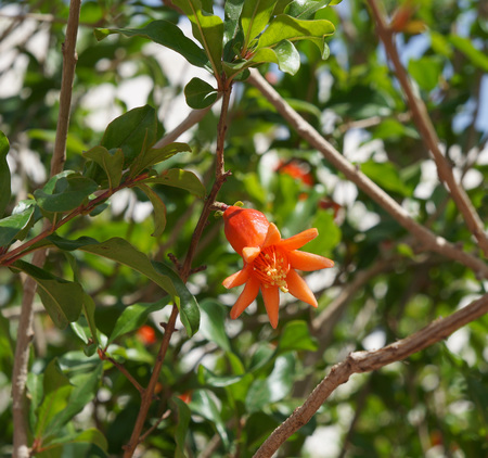 punica granatum: Pomegranate flower, blue sky background