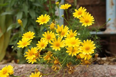 coronarium: Chrysanthemum coronarium blossom Stock Photo