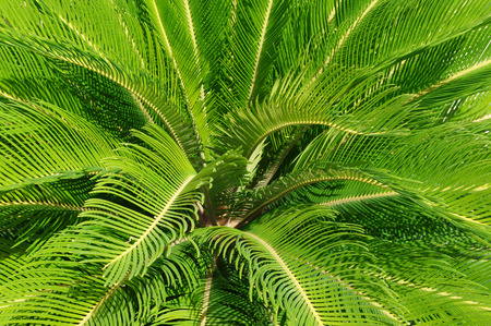 cycas: Cycas revoluta plant from above