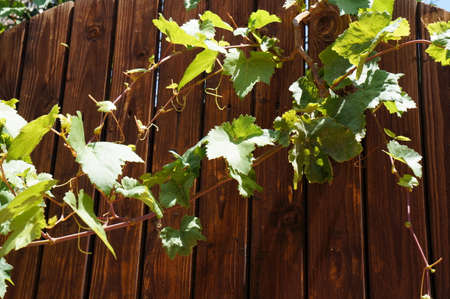 Green vine on the old wooden fence photo