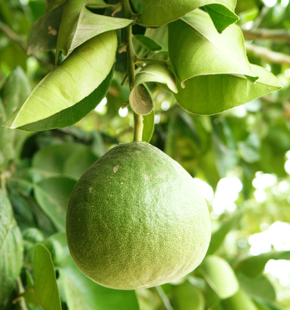Green unripe grapefruits photo