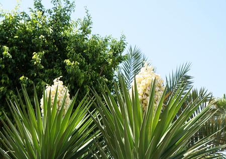 Yucca plant blossom photo