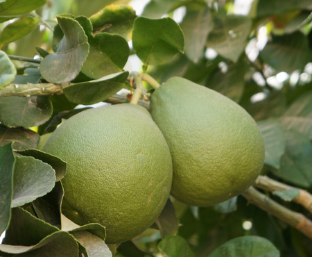 Green unripe grapefruit photo