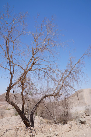 Dry dead acacia tree in wadi and mountains photo