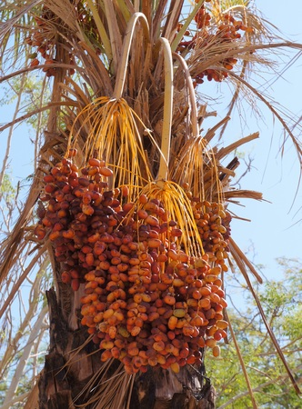 Ripe dates on the palm tree photo