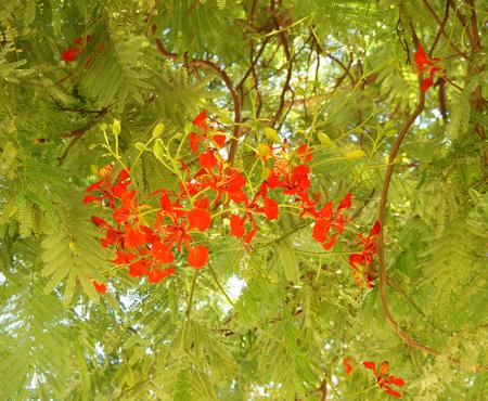 fabales: Delonix Regia blossom
