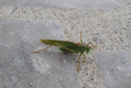 Green grasshopper on the stone floor photo