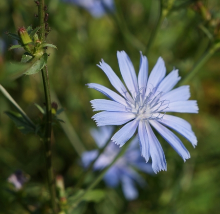 chicory flower: Chicory flower, selective focus Stock Photo