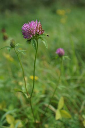 red clover: Red clover flower, selective focus