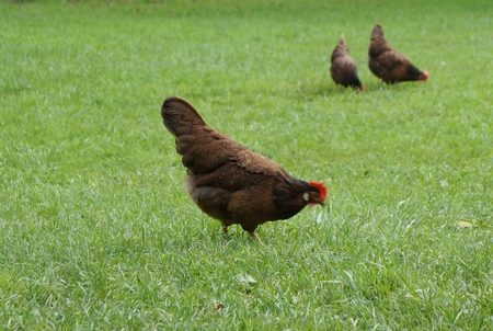 Red hen walking on the green grass photo
