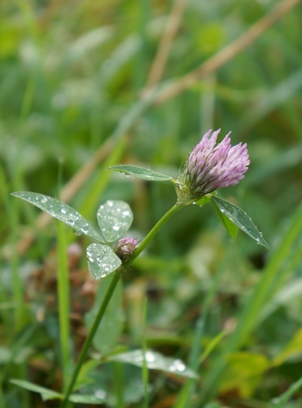 Red clover flower with drops of water photo
