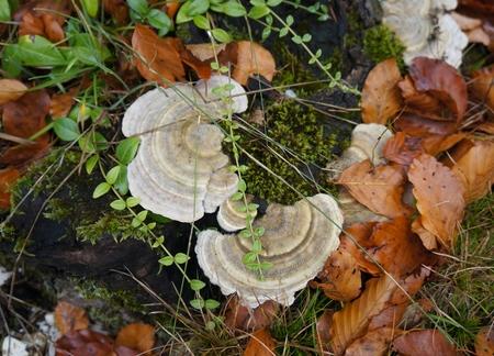 秋の森でバーチ菌