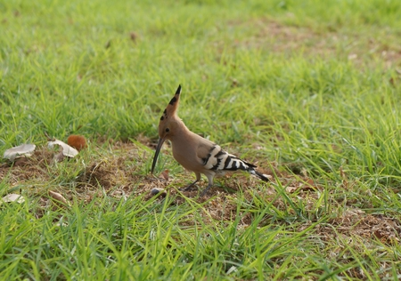 peculiar: Hoopoe on a green grass