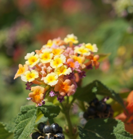 lantana: Lantana camara bloom Stock Photo