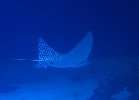 narinari: Spotted Eagle Ray (Aetobatus narinari) pass through coral reef