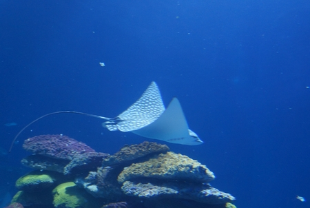 spotted ray: Spotted Eagle Ray (Aetobatus narinari) pass through coral reef