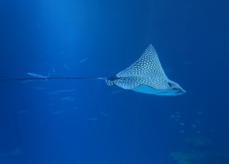 Spotted Eagle Ray (Aetobatus narinari) pass through coral reef