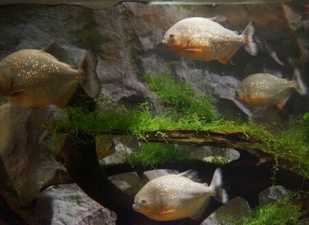 Piranhas in the aquarium photo