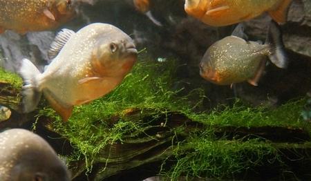 Piranhas in the aquarium photo