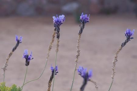 herbalism: Lavender flowers close-up, selective focus