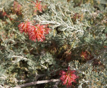 uniquely: Grevillea brachystachya in full blossom, The native Australian Grevillea plant is an evergreen tree or shrub with uniquely shaped flowers, selective focus on the flower Stock Photo