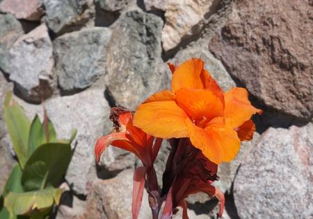 vibrancy: Canna lily blossom Stock Photo
