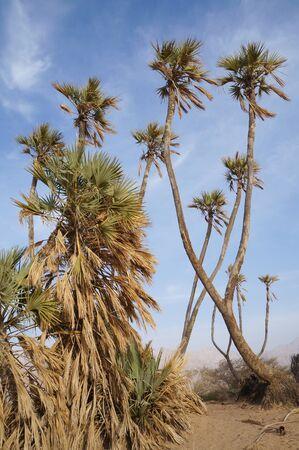 eilat: Doum palm trees in Evrona park near Eilat, Israel