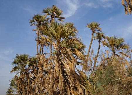 arava: Doum palm trees in Evrona park near Eilat, Israel