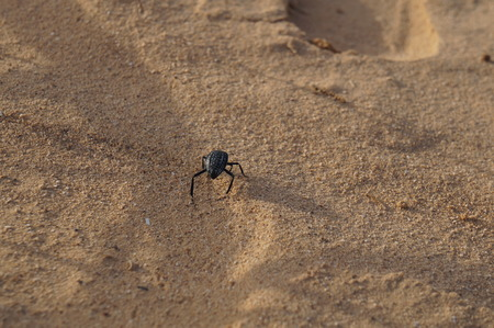 arava: Prionotheca Coronata goes in the desert, selective focus