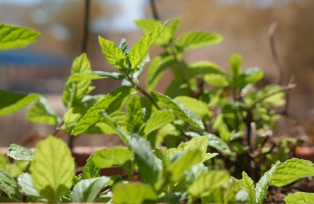 purposely: Mint with water drops, shallow depth of field, purposely blurred Stock Photo