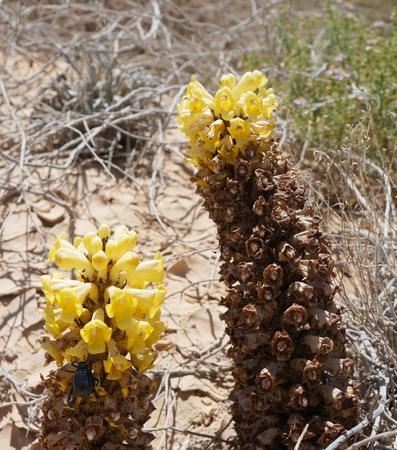 parasitic: Desert Broomrape, wild parasitic plant in full bloom